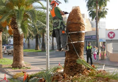 Imatge del sanejament d'una palmera pública infectada